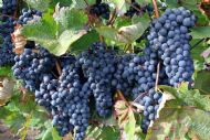Vitis Vinifera 5 Seeds, Common Grape Vine- Heavy Cropper,Sweet Fruits